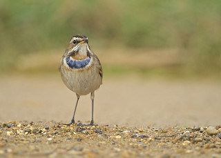 Bluethroat DSC_6590
