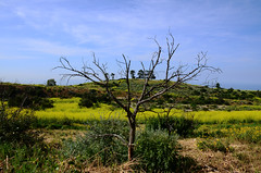 Lone Tree (Zeetz Jones) Tags: superbloom wildflowers nature ranchopalosverdes portuguesebendreserve superbloom2017 rollinghills southerncalifornia