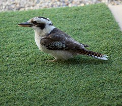 Australian native Kookaburras, feed time (Lance # Urban photographer) Tags: bird australian kingfisher wild kookaburra