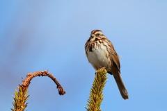 Song Sparrow (Daniel Taieb) Tags: song sparrow