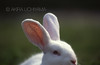 ZOO0115-2 (Akira Uchiyama) Tags: 動物たちのいろいろ 耳 耳ウサギ