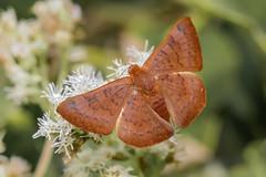 Emesis russula (male) (Gustavo Masuzzo) Tags: nature butterfly argentina campo energia verde rojo mariposario chilca olor