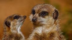 Erdmaennchen (dieter-und-marion sempf) Tags: erdmännchen laurasiatheria raubtier raubtiere säugetier säugetiere natur tier tiere katzenartige mangusten