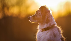 Abendlicht (juhwie.foto - PROJECT: LEIDENSCHAFT-LICH-T) Tags: sunset light aussie australian shepherd pentax star k1 dog portrait