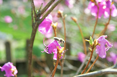 Bees (IRick Photography) Tags: bee bees insect insects flower flowers flowering purple bloom blooms blooming bud buds budding nature green greenery tree trees pollen pollenate pollenating natural macro