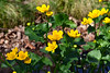 Marsh Marigold (John A King) Tags: calthapalustris marshmarigold kingcup flower