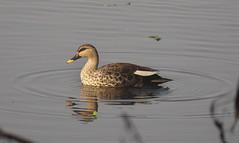 Indian Spot-billed Duck (Anas poecilorhyncha) (Gavin Edmondstone) Tags: indianspotbilledduck anaspoecilorhyncha okhlabirdsanctuary delhi india