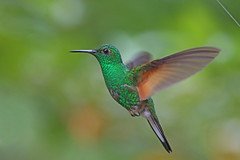 coppery-headed emerald (elvira cupreiceps) male (crijnfotin) Tags: copperyheaded emerald elvira cupreiceps copperyheadedemerald costarica monteverde hummingbird