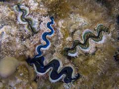 20130817--IMG_4145.jpg (r.mcminds) Tags: moorea tridacnasp metazoan cardiidae fieldwork bivalvia tridacna protostome bilateria veneroida mollusca lophotrochozoa animal mollusc mollusk bivalve cockle giantclam frenchpolynesia pf