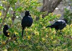 Austral blackbird at Yerba Loca, near Santiago, Chile. 2017-03-20. (ecologyweb) Tags: chile bird birds aves blackbird australblackbird santiago curaeuscuraeuscuraeus curaeus yerba loca nature reserve clbiodiv