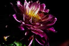 Dahlia (ameliapardo) Tags: dahlia flores plantas naturaleza airelibre andalucia sevilla españa