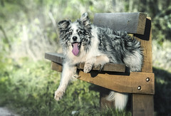 Duke... just chillin! (redshift1960) Tags: bluemerle bordercollie dog bench canon 5dmk3 200mm