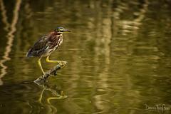 Laguna Manialtepec (252) (Danni Thompson) Tags: travel backpacker mexico october 2015 lagoon wetland bird wildlife