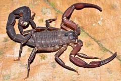 Buthidae, Tityus obscurus, AMAZ 0071, FLONA Tapajós (14)-59 (aracnologo) Tags: amazon amazonia amazonforest amazonbiome amazônia arachnida arachnid aracnídeo scorpiones scorpion escorpião escopião alacrán buthidae buthid tityus tityusobscurus pará tapajós