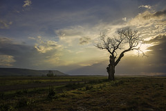 DSCF2841 atkins bottom tree (snolic...linda) Tags: arkansas 501 fujixt2 morrilton farm storm cloud atkinsbottom atkinsbottomtree mtnebo lonetree tree cottonwoodtree petitjean weather clouds