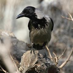 Hooded Crow (Wild Chroma) Tags: corvus cornix corvuscornix birds passerines crow iran tehran persia