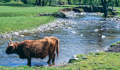 Highland Cow (M C Smith) Tags: highland cow water river grass green rocks banks trees