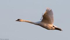Knobbelzwaan, Mute Swan (Paul van Agthoven) Tags: birds birding birdwatcher explore inexplore spring holland canon70d canon100400 canonllens light