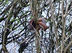 Visit of a squirrel   /   Besök av ekorre (larseriksfoto) Tags: squirrel ekorre d500 nikon lund