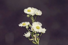 (winterprinzessin89) Tags: flowers daisy gänseblümchen blume natur nature dslr d3200 nikon outdoors photography photographie fotografie summer sommer photo photografie