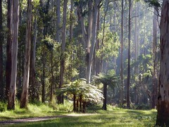 Dandenong Ranges National Park (sander_sloots) Tags: dandenong ranges national park belgrave melbourne australia cold temperate rainforest ferntree trees forest regenwoud woud boomvaren bomen licht light gumtrees gombomen eucalyptus