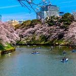 Cherry Blossoms in Chidorigafuchi : 千鳥ヶ淵の桜花 thumbnail