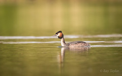 Great Crested Grebe (raytaylor77) Tags: grebe reflection wildlife bird diving feathers fishing golden lowangle nature water wild wiltshire wingsgrebe
