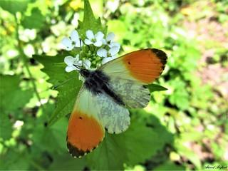 Butterfly 1208