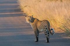 Leopard - Kruger NP - South Africa (bart coessens) Tags: leopard predator predators carnivore mammal mammals cats cat bigcat bigcats exoticcat felis feline southafrica southafricannationalparks southernafrica safari sanp sanparks kruger krugernationalpark wildlife wildanimals flickrbigcats