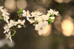 ✨ Keep the light... ✨ (Maria Godfrida) Tags: nature flora flowers blossoms blossom blooming blossoming light bokeh closeup outside outdoor branch shining golden