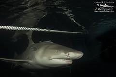 Thin line (Pedro Buzo) Tags: lemonshark black rope sharks ocean sea bahamas boat ancor night light nikon ikelite nauticam underwater underwaterphotography underwaterworld