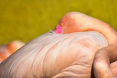 Flamingo (nicoheinrich86) Tags: bird wings feather pupille iris gelb yellow eye auge animals animal federn bokeh pink rosa flamingo zoo