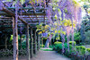 DSC_1663 (sayo-tsu) Tags: 藤 wisteria 牛島のフジ 春日部市 埼玉県 kasukabe saitama 特別天然記念物