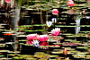 Reflection (Roi.C) Tags: flowers water lily waterlily outdoor season spring nikkor nikon nikond5300 reflection naturesfinest