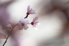 dream in a dream (eva vee) Tags: nature plumtree trees blossom petals pink spring frühling blüten natur garden nikon bokeh dof shadows schattenspiel dream dreamy pastel