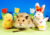 Easter Gang ~ Duck, Gucio, Bunny & Bunny (pyza*) Tags: gucio bubu hamster hammie chomik syrianhamster animal pet rodent critter furry funny fluffy easter bunny holiday holidays