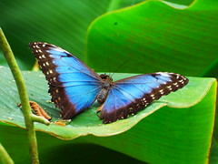 Butterfly Insect Animals In The Wild Animal Themes Animal Wing Butterfly - Insect One Animal Leaf Animal Wildlife No People Nature Green Color Outdoors Spread Wings Full Length Day Close-up Perching Beauty In Nature Fragility Freshness Beauty In Nature Po (davidntaylor1968) Tags: insect animalsinthewild animalthemes animalwing butterflyinsect oneanimal leaf animalwildlife nopeople nature greencolor outdoors spreadwings fulllength day closeup perching beautyinnature fragility freshness popularphotos photography popular
