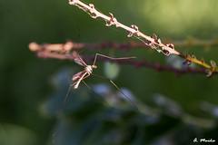 Small dragonfly long legs (A. Muiña) Tags: insecto insect animals animales naturaleza nature color nikond800 macro