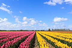 Hollandser wordt het niet (Tom van der Heijden) Tags: bollenvelden ooltgensplaat tulpen tulpenvelden lente bloemen zuidholland kleuren roze geel blauw lucht blauwelucht