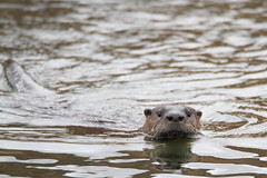 Giant River Otter (Daniel Taieb) Tags: giant river otter