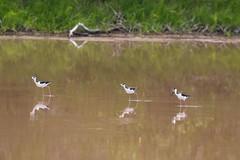 7K8A1547 (rpealit) Tags: scenery wildlife nature everglades national park blacknecked stilts stilt bird