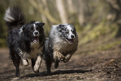 Gibson deploys his airbrake as they pass the finish line (redshift1960) Tags: gibson duke bluemerle bordercollie dogs run race canon 5dmk3 200mm