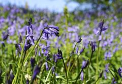 Bluebells (Skyline:)) Tags: 7dwf flower flowers bluesky blue green purple