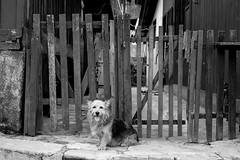 cachorro feliz (renanluna) Tags: cachorro dog feliz happy monocromia monochromatic pretoebranco blackandwhite pb bw paranapiacabasãopaulo 011 sp br 55 fuji fujifilm fujifilmxt1 xt1 35mm fujinon35mmf14xfr fujinon renanluna