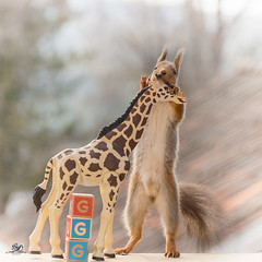 The g from giraffe hold (Geert Weggen) Tags: red nature animal squirrel rodent mammal cute look closeup stand funny bright sun backlight staring watching hold glimpse peek up tail message communication letter woodenframe capitals numbers learning school child education learn baby word alphabet teacher giraffe book kiss geert weggen hardeko sweden bispgården jämtland