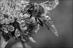 DRD160807_0033 (dmitry_ryzhkov) Tags: blackandwhite bw monochrome black white bnw blacknwhite blackwhite arthropoda fly flies diptera flower flowers flora grass plant plants botany summer field sun sunlight russia moscow art europe light lights shadow shadows live photo photography shot sony alpha wild wildlife life moment shots nature naturephoto naturephotography natureshot photograph close closeup closeupshot macro macrophoto macrophotos macrophotography macroshot small micro little entomology entomologist biologist biology zoology fauna enviropment outdoor outdoors bug bugs animal animals animalphotography insect insects