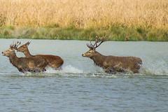 Ciervos (Garimba Rekords) Tags: eh pantano euskalherria euskadi vitoria gasteiz ciervos berrea salburua