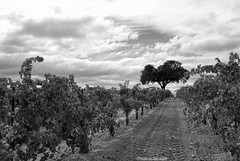 Mostly cloudy (Joe Hengel) Tags: california clouds winery vineyards grapes centralcoast oaktree pasorobles