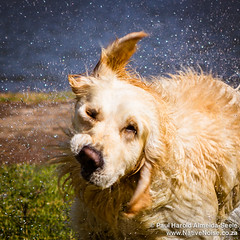 Bailey The Golden Retriever Shaking Dry, Johannesburg