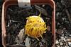 IMG_0394 (BobTravels) Tags: plant stone bob lithops lithop messem bobwitney